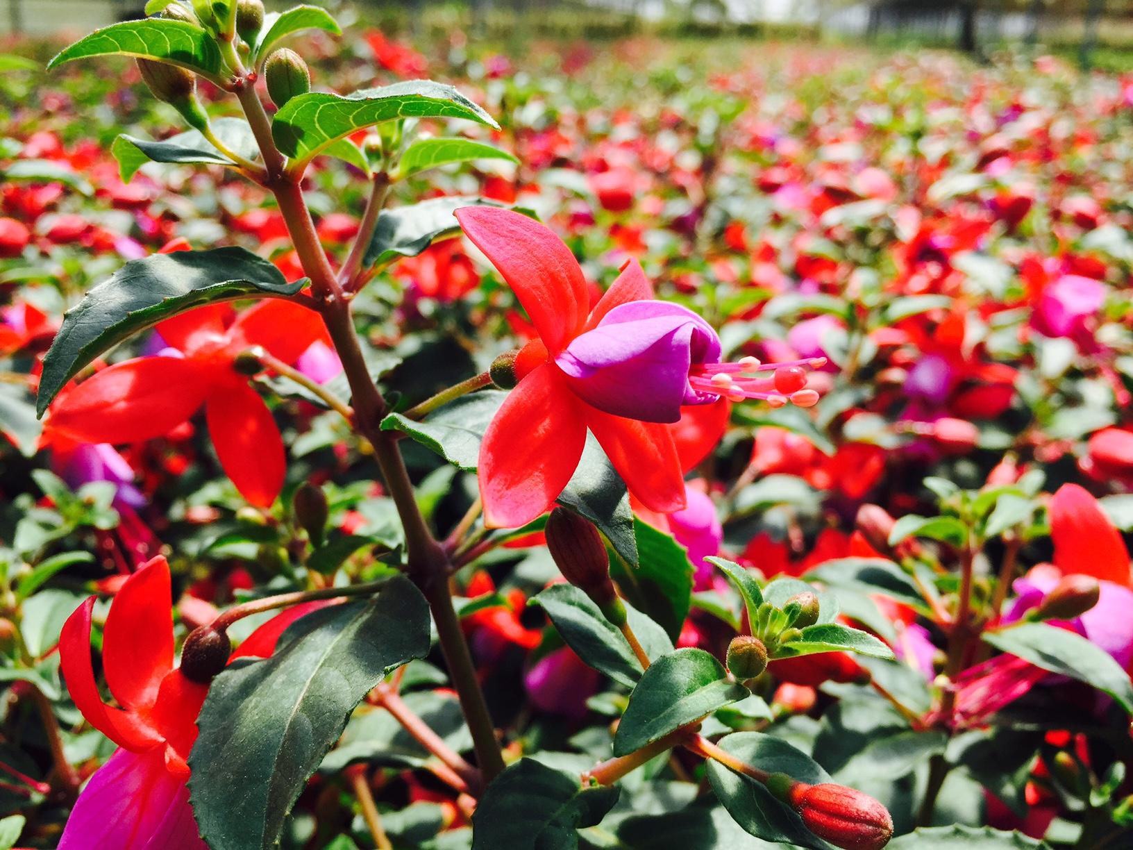 Fucsia magellanica vivai tempesta piante mediterranee for Vivai piante da frutto