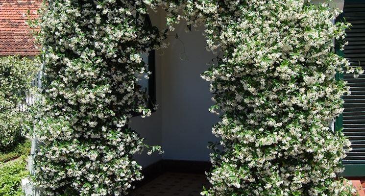 Rhyncospermum vivai tempesta piante mediterranee piante da